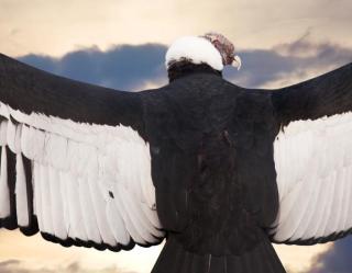 andean-condor-header