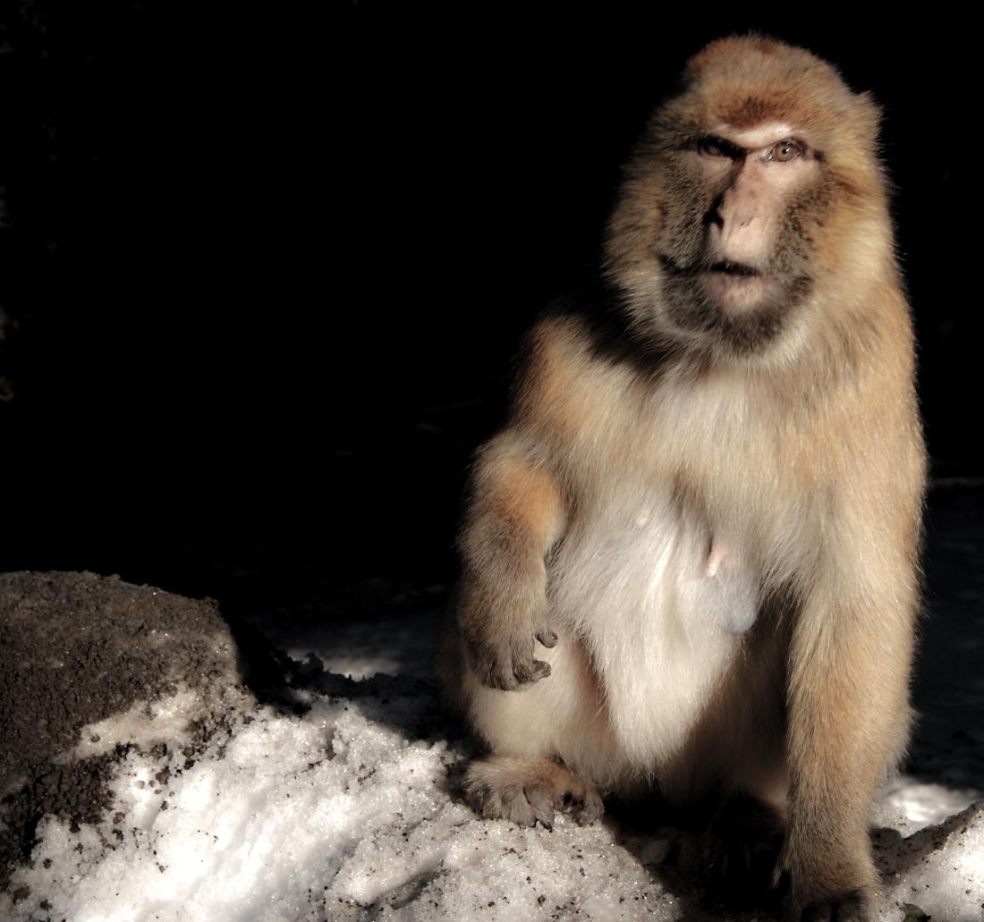 macaque-azrou