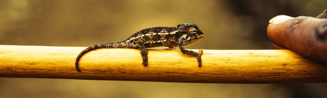 mirco-chameleon