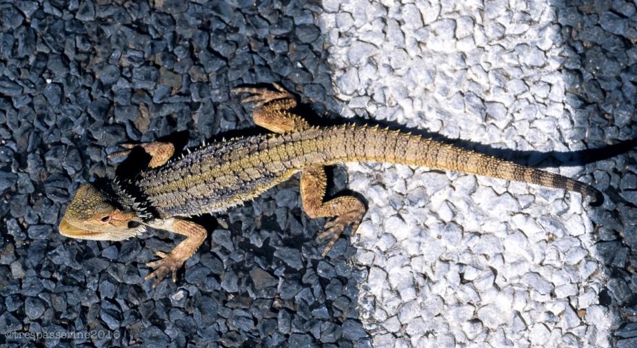 lizard-on-road
