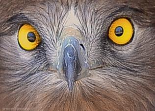 Snake Eagle Eyes